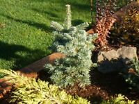 Shasta Red Fir - Fresh Seeds - Ideal Bonsai