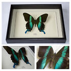 Real Blumei Butterfly Hand Set and Framed In UK Beautiful Gift - Taxidermy