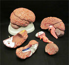 NEW 8-PART HUMAN BRAIN with ARTERIES ANATOMICAL ANATOMY MODEL