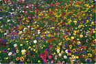wildflower mix100 seed 1 POUND LB SEEDS GroCo