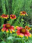 indian blanket DROUGHT RESISTANT 630 SEEDS GroCo BUY US USA