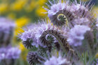 lacy phacelia, PURPLE TANSY flower, 1165 seeds! GroCo