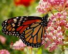 Common Milkweed 50 12800 seeds  Monarch butterfly hummingbird flower 224