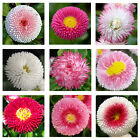 English Daisy Double Mix 500 seeds  Elegant  Beautiful  Cut flower CombSH A67