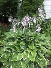 Buy 2 Get 1 Free Perennial   Hosta 50+ seeds great for borders also edible