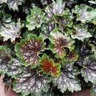 50+ Heuchera Marvelous Marble Flower Seeds / Americana/ Perennial