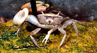 Live Freshwater Invertebrate 2 Fiddler Crab Exotic Predatory Mini Crab
