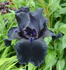 Bearded Iris Germanica Before The Storm 1 Rhizome Black Fragrant Summer Sun