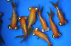 Live Celestial eye Goldfish sm for fish tank koi pond or aquarium