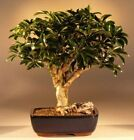 BONB E1471 Bonsai Boys Hawaiian Umbrella Bonsai Tree Large arboricola scheffl