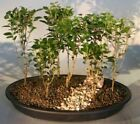 BONB E3237 Bonsai Boys Yaupon Holly Will Fleming Seven Tree Forest Group ilex v