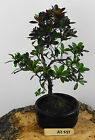 Bonsai Tree Azalea Rhododendron Indicum Height 25 cm