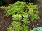 Rare Japanese maple cultivar 3yr Abbys Weeping