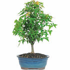 Trident Maple Popular Deciduous Bonsai Tree Live Home Decor