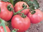 Seeds organic heirloom Tomato Raspberry Vicante productive   from Ukraine