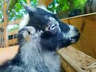 Miniature Lamancha Nigerian Dwarf Buck No PayPal just cash