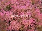 Rare Japanese maple cultivar 2yr Pink Filigree