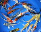50 pack of 25 inch Butterfly Koi Live fish tank pond aquarium lot wholesale
