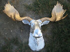 Large Silver faux moose head with gold antler wall mount lodge cabin taxidermy