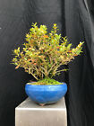 Shohin Kingsville Boxwood Bonsai FREE SHIPPING
