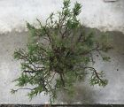 Monterey Cypress Tree Pre Bonsai Super Fat Trunk Exposed Roots Wide Canopy +Free