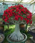 Red Adenium Obesum Bonsai Desert Rose Plants Double Flowered