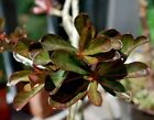 bonsai desert rose red leaf Adenium Black Forever3 years plantusa Free ship