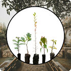 Bonsai Tree Bundle  Collection of 5 Live Tree Seedlings  The Jonsteen Company