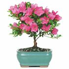 Satsuki Azalea Bonsai tree 6 container Free Shipping