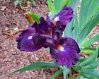 1- rhizome, Dwarf Bearded Iris,
