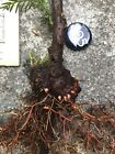Yamadori Coast Redwood Burl Tree Fat Pre Bonsai + Free Redwood