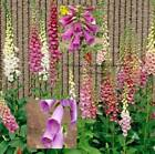 Foxglove Mixed Colors Seeds by Zellajake Many Sizes Hummingbird Butterfly 130