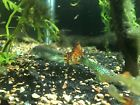 Redtail Green Dragon Guppies Pair
