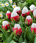 20 Pcs Cabbage Rare Tulip Bonsai Aroma Tulip Ice Cream Plants So Rare Not Tulip
