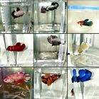 LIVE BETTA FISH MANY AVAILABLE Excellent health pellet fed
