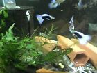 1/2 Black White Pastel Guppies + Fry