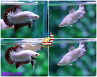 [SNOW-01] Live Betta Fish PAIR HMPK Red Dragon Snow Omo Startail - NEW TYPE