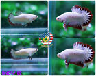 [SNOW-02] Live Betta Fish PAIR HMPK Red Dragon Snow Omo Startail - NEW TYPE