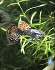 Adult Trio Dumbo Ear Platinum Mosiac Dragon Guppies, fancy guppy,freshwater fish