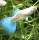 Adult Trio  Albino Blue Topaz Guppies, fancy guppy,freshwater fish