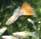 Adult Trio Albino Blue Topaz Red Tail Guppy, fancy guppy,freshwater fish