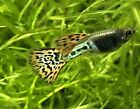 Adult Trio Red Lace Metalhead Guppies, fancy guppy,freshwater fish