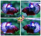 [CP-30] Live Betta Fish High Quality HMPK Male Red/Blue Fancy Startail