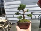 Beautiful A+++ mame Chinese Shimpaku Juniper Bonsai Tree