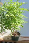 Japanese Wisteria Purple Bonsai seedling from seed Four years old from seed