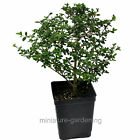Serissa flore pleno Dbl White Snow Rose Starter Bonsai Plant