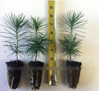 3 Japanese Black Pine 3 6 Tall Seedlings Great Bonsai or Shade Tree