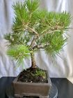 Japanese Black Pine Bonsai Pinus Thunbergii