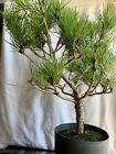 Japanese Black Pine Bonsai Nice Size