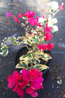 Live Plant Raspberry Ice Bougainvillea Red Flowers Bonsai Variegated Pink Leaves